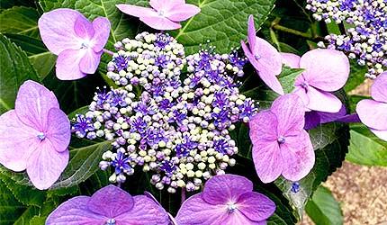 日本岡山吉備津神社繡球花紫陽花