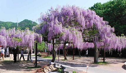 岡山和氣町藤公園紫藤花祭