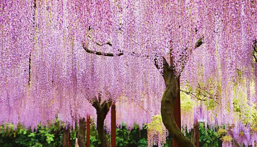 紫色的浪漫小鎮!到岡山「和氣町」騎單車遊日本第一的紫藤花祭