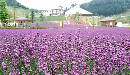 日本岡山「美咲町」的「牧場之館」(まきばの館)的薰衣草原