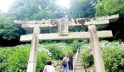 日本冈山吉备津神社绣球花紫阳花