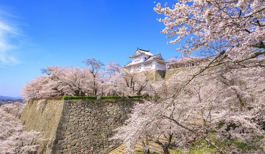日本岡山縣津山市的津山城(鶴山公園)櫻花季節