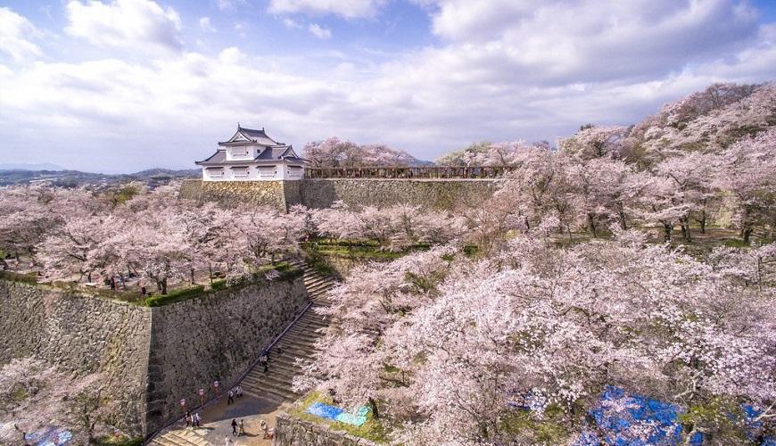 日本岡山縣津山市的津山城(鶴山公園)櫻花滿開