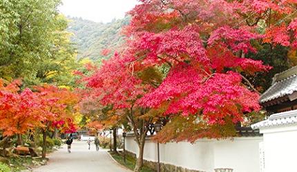 日本山阳山阴枫叶推荐山口红叶谷公园