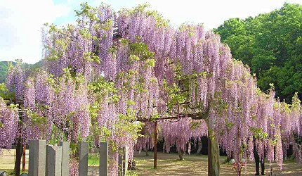 冈山和气町藤公园紫藤花祭
