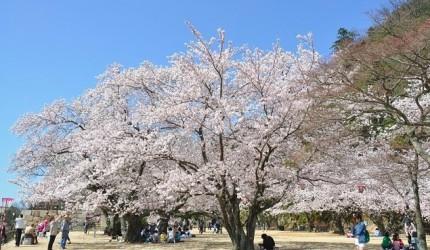 日本山阳山阴樱花鸟取鸟取城迹久松公园