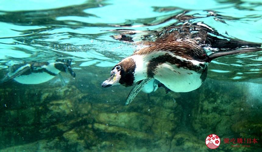 山口县下关海响馆的企鹅游泳