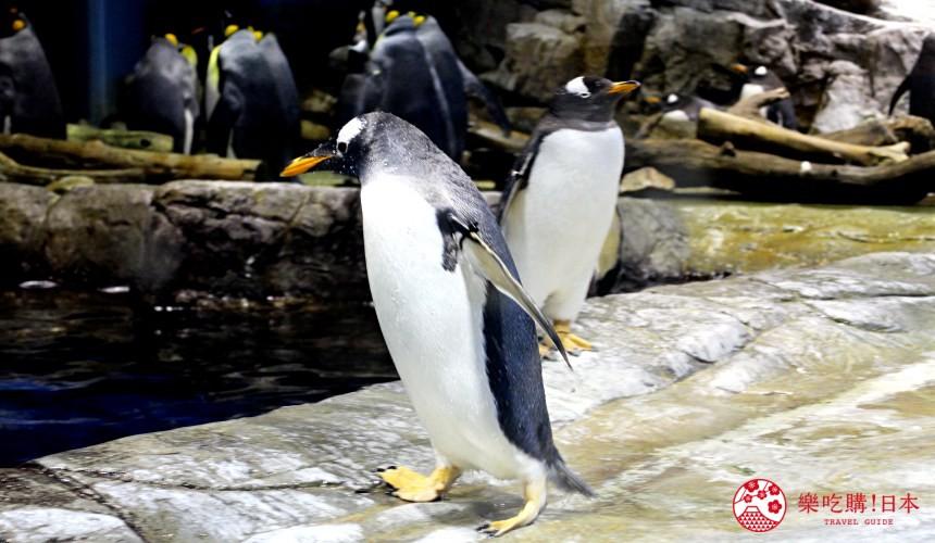 山口县下关海响馆的企鹅