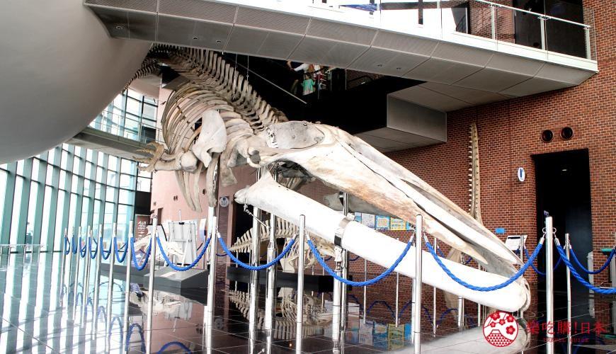 山口县下关海响馆的世界最大蓝鲸标本