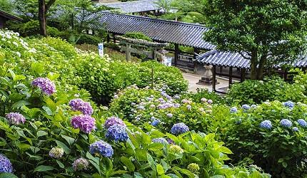 岡山人氣吉備景點推薦「吉備津神社」的繡球花