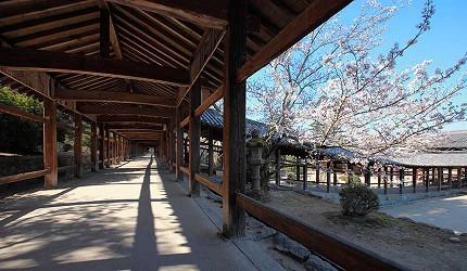 岡山人氣吉備景點推薦「吉備津神社」的著名迴廊的櫻花