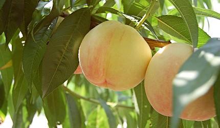 岡山自由行兩天一夜行程推薦!桃子之鄉「赤磐市」出產的水蜜桃