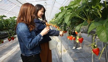 岡山自由行兩天一夜行程推薦!桃子之鄉「赤磐市」的「農MARU園藝」(農マル園芸 あかいわ農園)採草莓